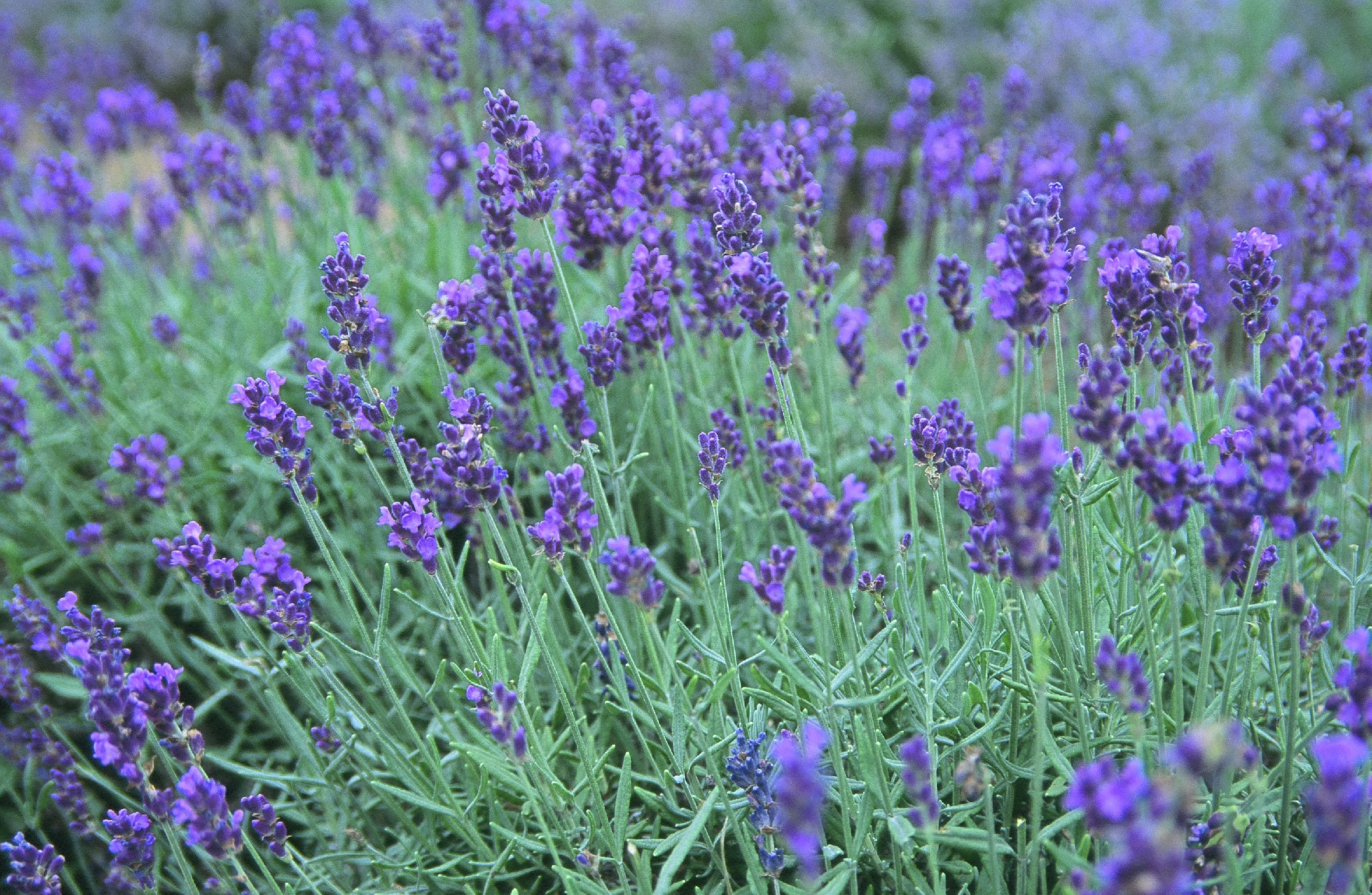 Lavender a year on the make for Best plants to keep mosquitoes away